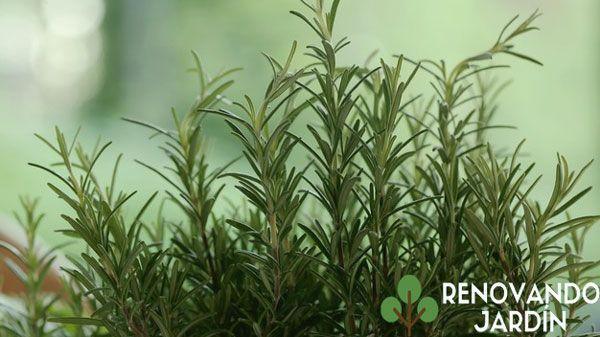 Plantas aromaticas de jardin
