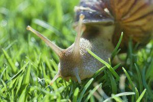 cómo eliminar los caracoles de jardín