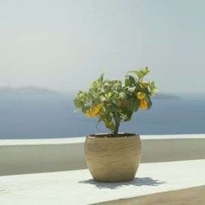 cómo plantar un limonero en una maceta
