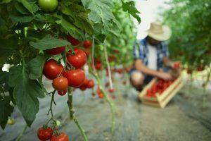 mejores plantas compañeras de las plantas de tomates